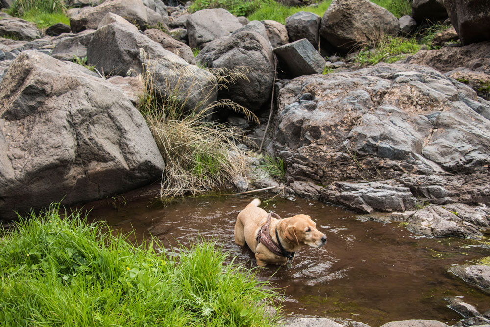 Refreshment for the dog in the water of the gorge