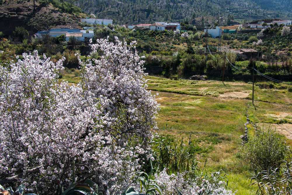 Almond trees on the way