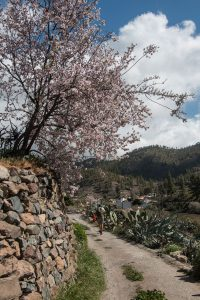 hiker on the path with almond trees