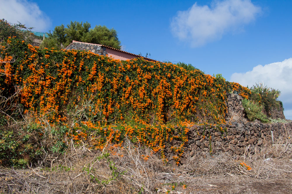 flowers at the hiking trail at the exit of Agulo