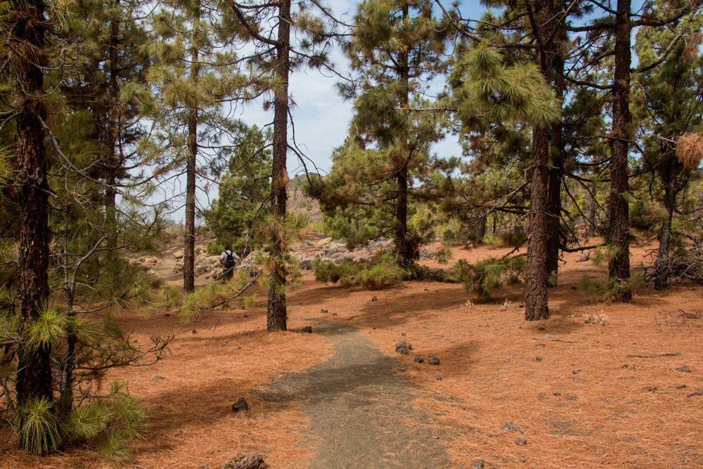 hiking way back through the pine forest