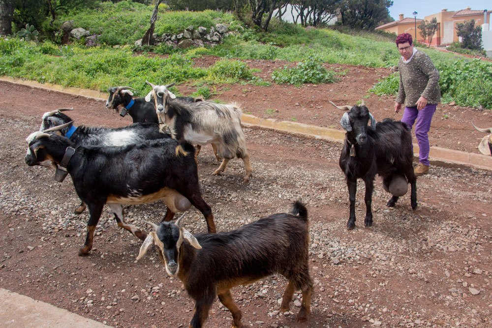 goats on the street of Teno Alto