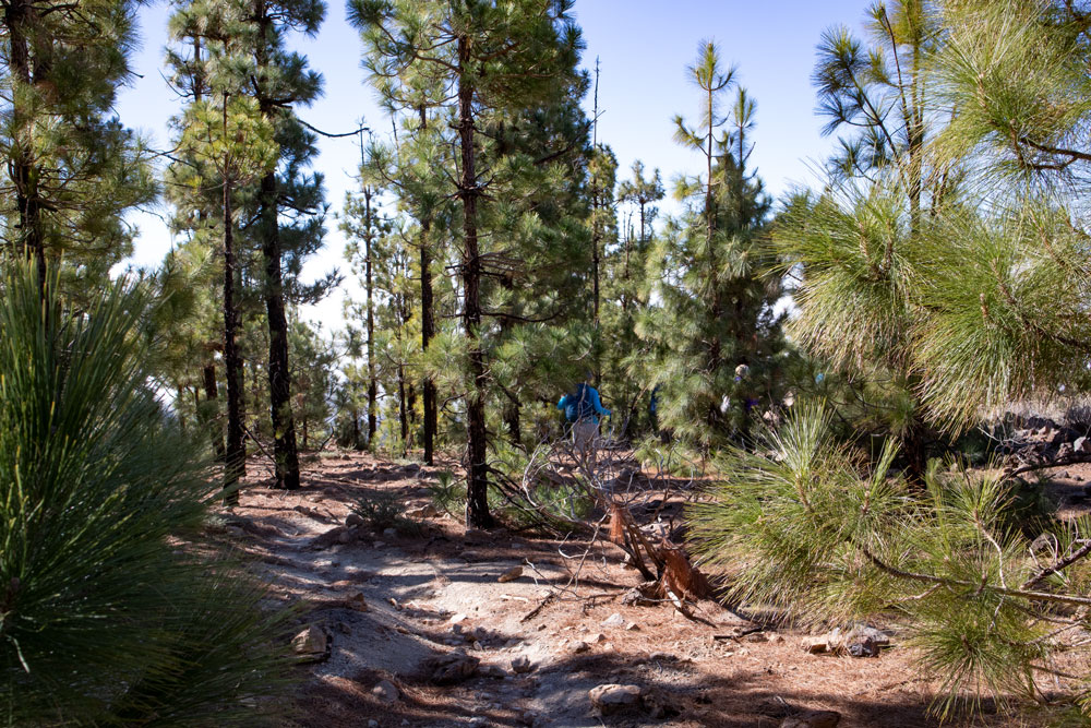 hiking path through the pine forests