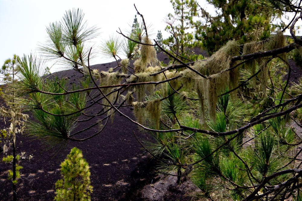 lichens on the pines