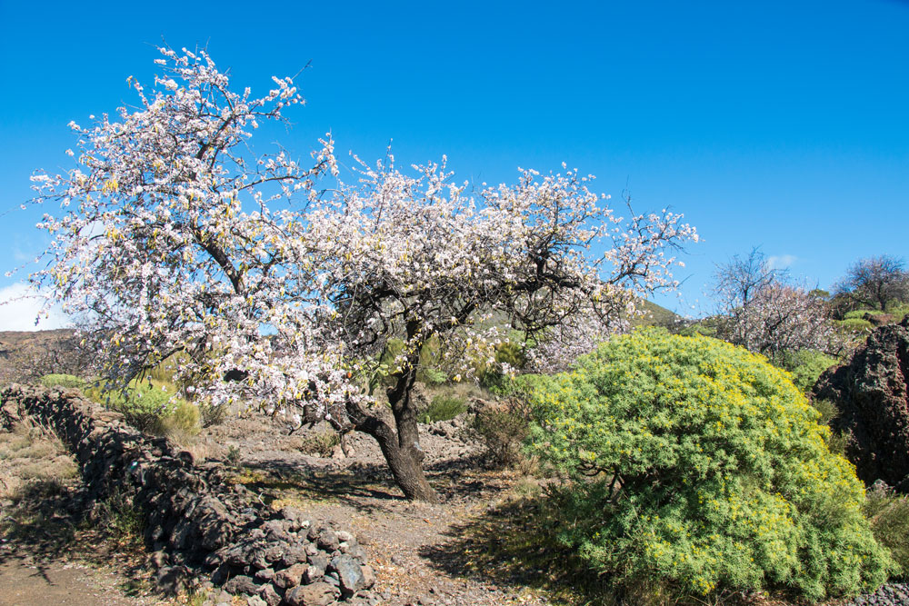 Blossoming almond tree at the roadside