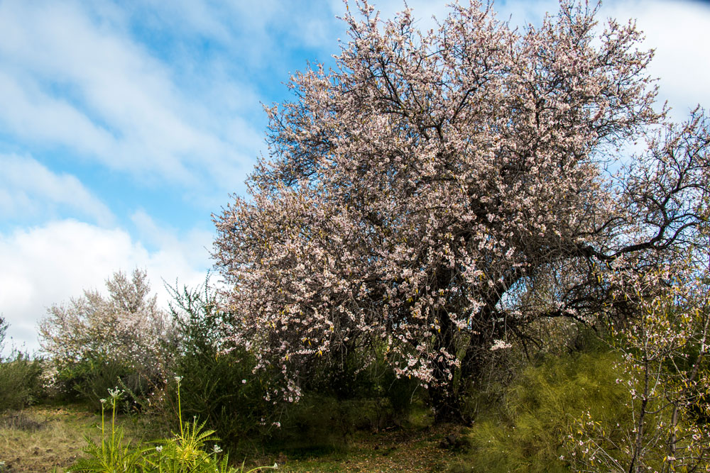 almond tree with blossoms