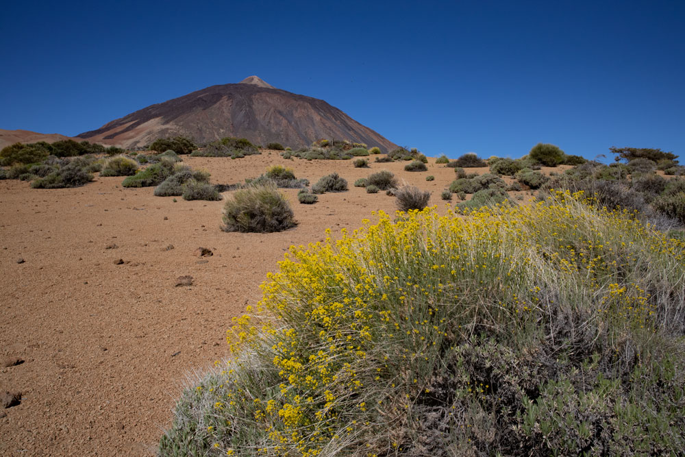 flowering shrubs and Teide in the background