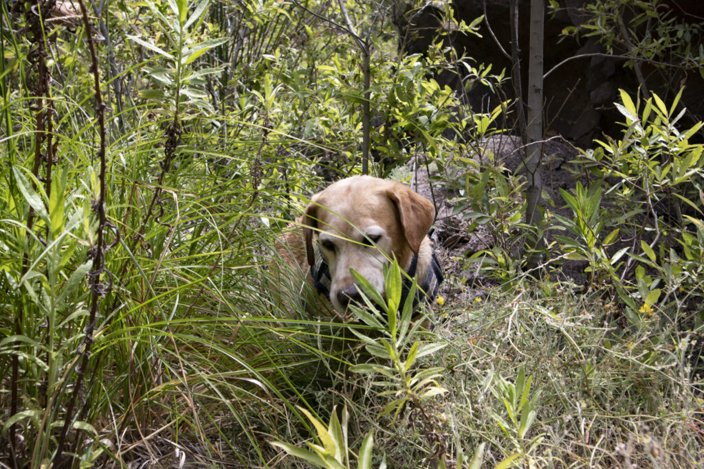 even dog must fight its way through the thicket