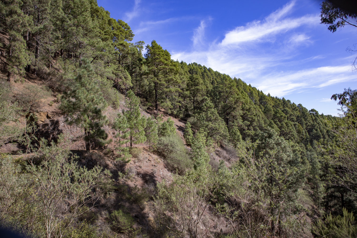 Hiking trail on the slope through the Esperanza Forest - Pista Huelgues on the las Raíces hike