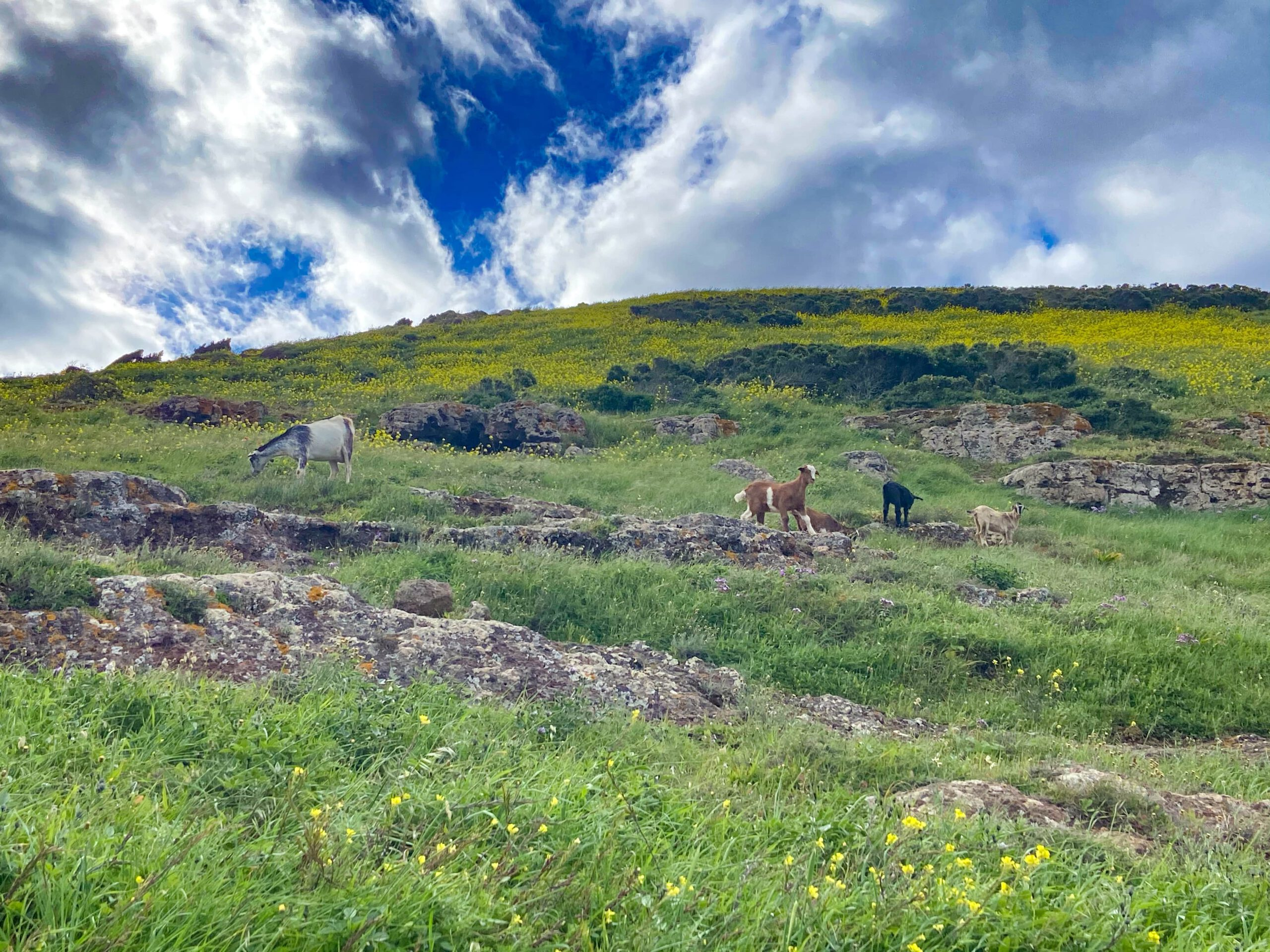 Goats share the trail below Teno Alto with you